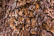 Birds and insects have damaged the bark of a Western Hemlock Tree at the Grove of the Patriarchs in Mount Rainier National Park, Washington State, USA