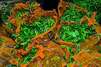 Freshly picked tea leaves, Hayleys Somerset Tea Estate, Radella, Nanu Oya (near Nuwara Eliya), Central Province, Sri Lanka.