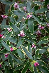 Daphne odora 'Aureomarginata' - Gold-edged winter daphne.