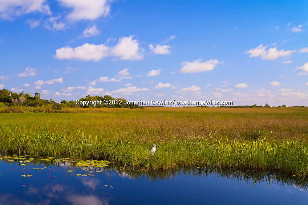 A Great Egret (Ardea alba) grooms itself on the edge of a canal along the Anhinga Trail in Everglades National Park, Florida. WATERMARKS WILL NOT APPEAR ON PRINTS OR LICENSED IMAGES.