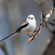 This is a long-tailed tit (Aegithalos caudatus) with winter plumage. Photographed in Hokkaido, Japan.