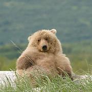 Alaskan Brown Bear (Ursus middendorffi) Katmai National Park. Alaska.