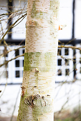 The bark of Betula utilis var. jacquemontii, West Himalayan birch