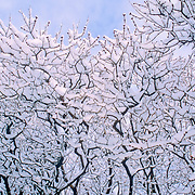 freshly fallen snow on the branches of a tree against a blue sky