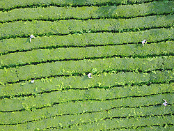 July 24, 2017 - Bazi, China -  Villagers work in Nangonghe Tea Plantation in Bazi village of Longgang township, Kaiyang county of southwest China's Guizhou. About 300 villagers in the neighborhood have benefited from the selenium-enriched tea produced in the plantation that began its operation ten years ago.  clq) (Credit Image: © Yang Ying/Xinhua via ZUMA Wire)