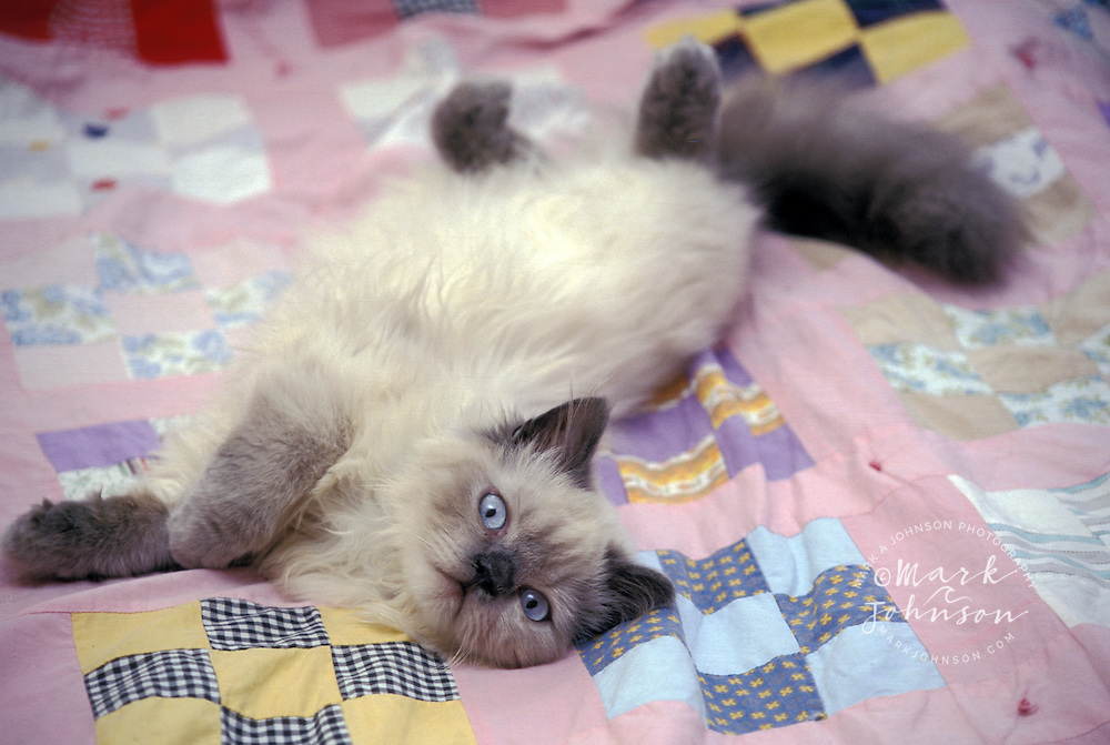 Himalayan breed cat *****Property Release available