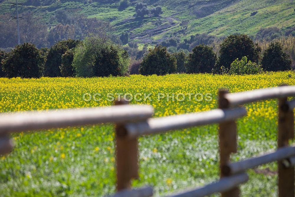 Yellow Mustard Field In San Juan Capistrano California