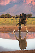 Giraffe (Giraffa camelopardalis) drinking<br /> Marataba, A section of the Marakele National Park<br /> Limpopo Province<br /> SOUTH AFRICA<br /> RANGE: Savanna regions in scattered isolated pockets of Sub-Saharan Africa.