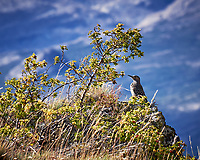 Chilean Flicker. Image taken with a Fuji X-T1 camera and 55-200 mm OIS lens (ISO 200, 200 mm, f/7.1, 1/500 sec).