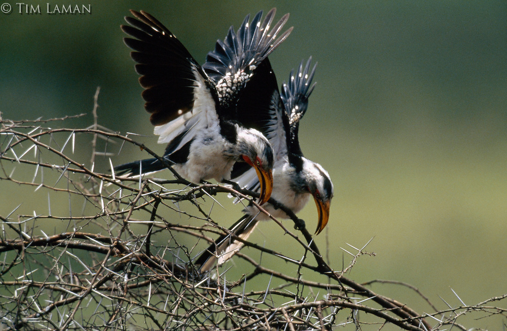 Southern yellow-billed hornbills perform a territorial display.