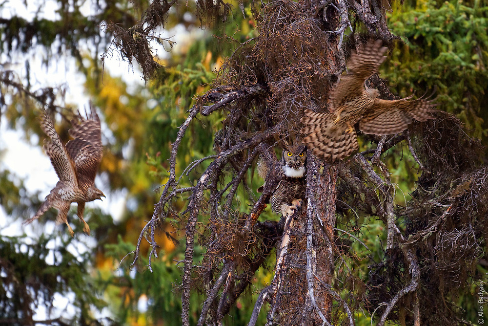 BATTLE OF THE SPRUCE BOG GIANTS | Male Great horned owl (Bubo virginianus) refuses to interrupt his sunrise hooting display for a pair of indignant Cooper's hawks (Accipiter cooperii). Owl predation accounts for more than a half of mortality of Cooper's  hawk's nestlings; they get picked up directly from their nests in the middle of night.