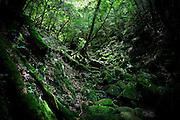 Japan, Yakushima - Mononoke forest - rocks covered with moss