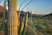 Organ Pipe Cactus.(Stenocereus thurberi) and Saguaro Cactus (Carnegiea gigantea), Organ Pipe Cactus National Monument Arizona