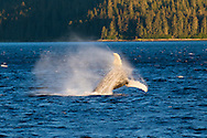 A humpback whale breaching in the morning sun in Peril Strait, Inside Passage, Alaska, USA
