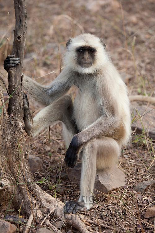 Indian Langur monkey, Presbytis entellus, on tree branch in Ranthambhore National Park, Rajasthan, Northern India