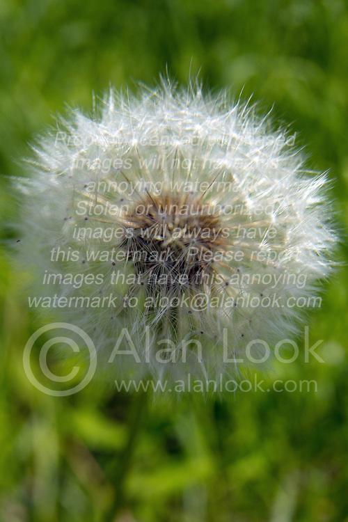 28 May 2014:   White globe type dandelion