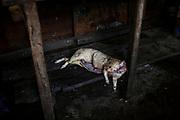 En la fotografía el cuerpo de un Majás o carne de monte como le llaman en la Amazonía a la carne de animales silvestres que hay en la selva o bosques de la región y se venden por teléfono en los mercados locales.
