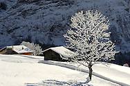 Trees covered in snow and frost on the Alpine slopes covered in winter snow near Bort - Grindelwald, Swiss Alps, Switzerland .<br /> <br /> Visit our SWITZERLAND  & ALPS PHOTO COLLECTIONS for more  photos  to browse of  download or buy as prints https://funkystock.photoshelter.com/gallery-collection/Pictures-Images-of-Switzerland-Photos-of-Swiss-Alps-Landmark-Sites/C0000DPgRJMSrQ3U