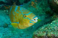 Bluechin Parrotfish (Scarus ghobban)<br /><br />Canales de Afuera Islands<br />Coiba National Park<br />Panama<br /><br />Wahoo dive site