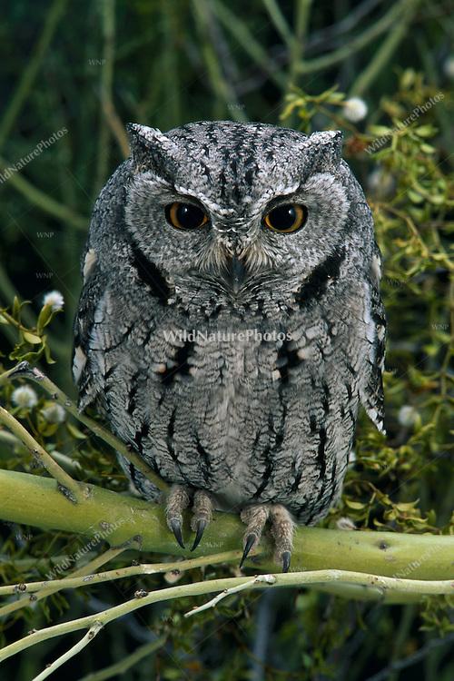 Western Screech Owl, Megascops kennicottii, in Palo Verde; Sonoran Desert, Arizona