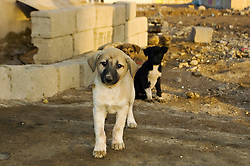 Three feral stray puppies venture out from waste land around derelict buildings into the quiet morning of Basra city to begin another day of fending for themselves in post war  Iraq March 2005