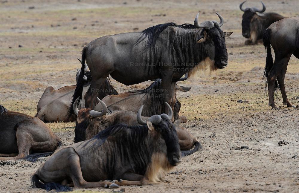 24-10-2008 REPORTAGE: KILIMANJARO CHALLENGE 2008: TANZANIA <br /> De dag van De Ngorongoro-krater, de grootste intakte caldera (ingestorte vulkaankegel) ter wereld. Hij bevindt zich ten noordwesten van Arusha in Tanzania / Wild, dieren, Natuur, vogels, Gnoes<br /> ©2008-FotoHoogendoorn.nl