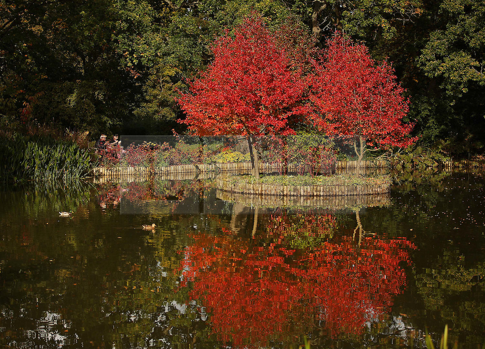 © Licensed to London News Pictures. 08/10/2015. Wisley, UK. Afternoon sunshine illuminates a pair of Nyssa Sylvatica trees in a pond at RHS Wisley.  Photo credit: Peter Macdiarmid/LNP