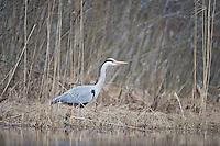 08.04.2009.Grey Heron (Ardea cinerea)..Bergslagen, Sweden.