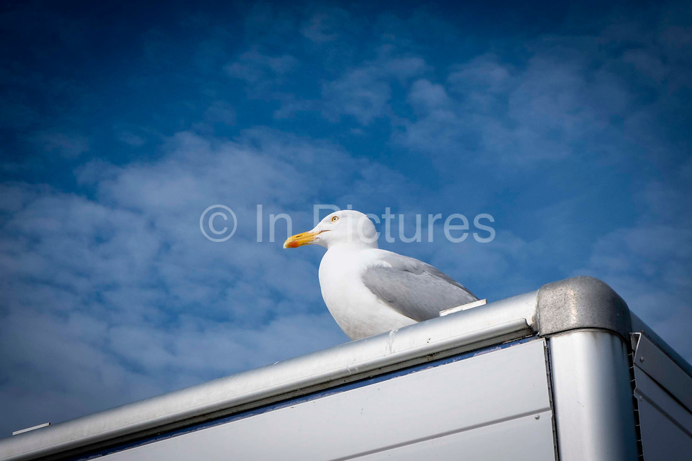 A European herring gull sits on top of a mobile fish shop against a blue sky on Folkestone Sea Front on the 22nd of May 2020 in Folestone, United Kingdom. The European herring gull is one of the best known and largest seagulls across European shore lines.