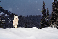 White dog in the mountain at snowfall