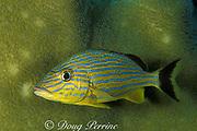 bluestripe grunt, Haemulon sciurus, <br /> by pillar coral, Dendrogyra cylindrus<br /> Florida Keys (Atlantic)