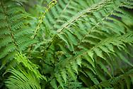 2018 JUNE 19 - Fern in landscaping downtown, Seattle, WA, USA. By Richard Walker