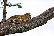 Leopard (Panthera pardus) on a tree. Photographed at Serengeti National Park, Tanzania
