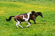 Skewbald horse and dark bay horse roaming in buttercup meadow, the Cotswolds, Gloucestershire, UK
