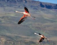 Chilean Flamingo (Phoenicopterus chilensis). Santa Cruz, Argentina. Image taken with a Nikon D3x camera and 70-300 mm VR lens.