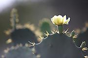 Caninde do Sao Francisco_SE, Brasil.<br /> <br /> Vale do Rio Sao Francisco. Na foto detalhe de cactus.<br /> <br /> Vale do Rio Sao Francisco. In the picture detail of cactus.<br /> <br /> Foto: JOAO MARCOS ROSA / NITRO