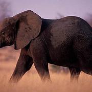 African Elephant, (Loxodonta africana) Sub- adult moving across bushveld. Evening. Kruger National Park.