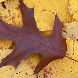 Stratham, NH..Northern Red Oak, Quercas rubra, leaf in fall.  Sandy Point Trail.