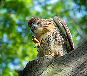 The red-tailed hawk is in Central Park, NYC.
