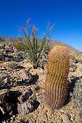 Barrel Cactus and Ocotillo in bloom near Yaqui Pass, Anza-Borrego Desert State Park, California