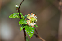 This salmonberry has just been pollinated and lost its petals, as seen in the forest near the Nisqually River Delta at the Puget Sound's southernmost point in Washington State.