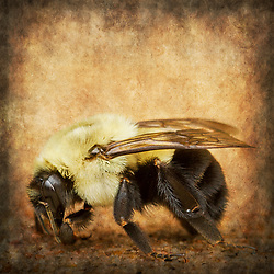 A Closeup photo of a bee against a textured background