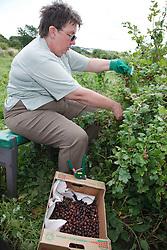 Trinity Organic Farm, Nottinghamshire - volunteer picking winston berries