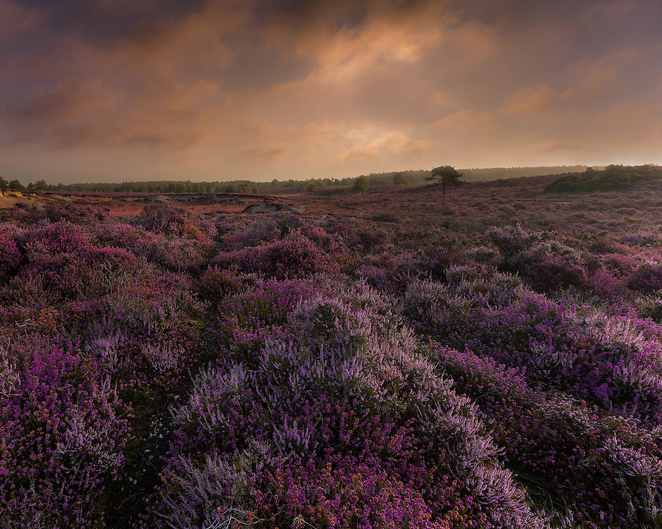 Took a visit to Walbersick for sunrise on Saturday hoping for some post storm skies, only to be greeted by clear blue and a tent extactly where I wanted to shoot. A quick diversion to Dunwich proved a little more fruitful, the heather was in full bloom, and is a pretty spectacular sight.