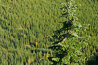 A lone tree stands out in sharp focus against an out of focus forest in the background. Noble Fir (Abies Procera) in the Tahoma State Forest, Washington state, USA