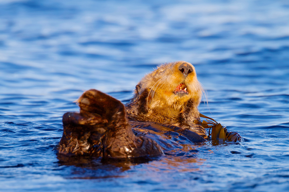 Canada, British Columbia, Vancouver Island, Sea otter (Enhydra lutris) yawning at sunset in the Straits of Juan de Fuca