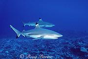 blacktip reef sharks or blackfin reef sharks, Carcharhinus melanopterus, Moorea, French Polynesia ( South Pacific Ocean )