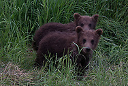 Two brown bear spring cubs from 2017 that belong to Bear 435 Holly