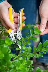 Taking cuttings from osteospermums