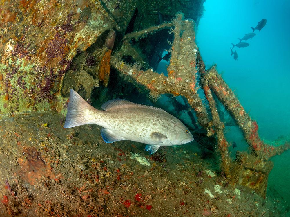 Gag Grouper on USCGC Spar Shipwreck in North Carolina, USA